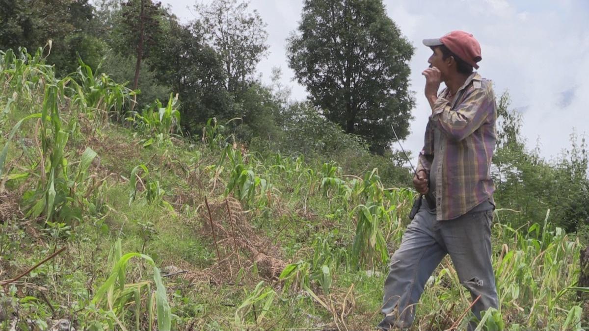 Exigen reparación de daños provocados por el Ejército Mexicano a cultivos de maíz, en la sierra de Chilpancingo