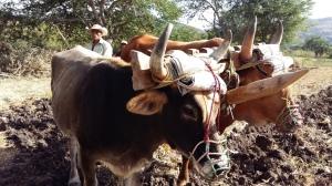 Don Aragón, arando sus tierras. (Fotografía: Jonathan Cuevas/API)
